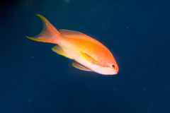 Maldives Lyretail Anthias in Aquarium Royalty Free Stock Images