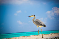 Tropical bird at Maldives royalty free stock images