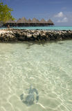 maldives manta Arkivfoton