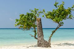 Beautiful beach on Maldives with old tree, white sand and blue sky. Holidays destination. Maldives - November, 2017: Amazing beach on Maldives with white sand Stock Photo