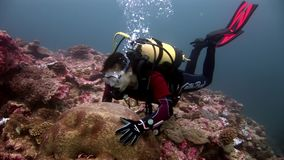 Diver and hard round coral brain in form of ball underwater seabed in Maldives. stock video footage