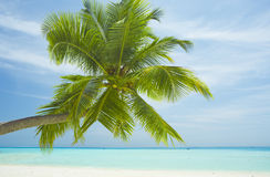 Maldives palm. Medhufushi Island Resort is naturally quiet, serene, authentic Maldivian island royalty free stock image