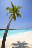 Maldives.   Palm tree bent above waters of ocean Royalty Free Stock Photography