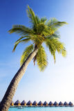 Maldives. Palm tree bent above waters of ocean. Royalty Free Stock Photos