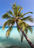 Maldives. Palm tree bent above waters of ocean in a sunny day Stock Image