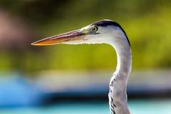 Maldives, podróż, wakacje, lokalny ptak Fotografia Royalty Free