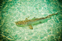 Maldives reef sharks 7 royalty free stock photo