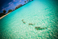 Maldives reef sharks 3 royalty free stock photography