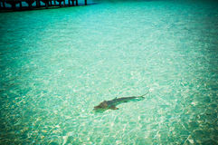 Maldives reef sharks 3 stock photography