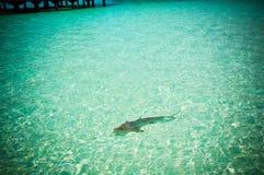 Maldives  reef sharks 3 Stock Photography
