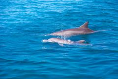 A spotted dolphin family leaping out of the clear blue Maldives water. Marine life in Maldives royalty free stock photos