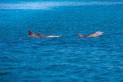 A spotted dolphin family leaping out of the clear blue Maldives water. Marine life in Maldives. Maldives sea-life and blue sea. Dolphins enjoying sunny day and royalty free stock photography