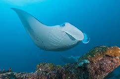 In Maldives, the stingray, which floats in the water, creates a wonderful image in the corals. Everyone should see this scene once in your life, water life Royalty Free Stock Photos