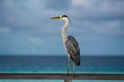 Maldives tropical seabird. Captured at Velassaru island, Maldives Royalty Free Stock Photography