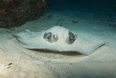 In the Maldives, underwater, underwater, and self-inflicted stingray, which fish can be pursued stock image
