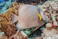 maldives Vissen Gray Angelfish stock afbeeldingen