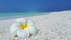 P01975 Maldives white sandy beach yellow flower on sunny tropical paradise island with aqua blue sky sea ocean 4k. Maldives white sandy beach yellow flower on stock photography