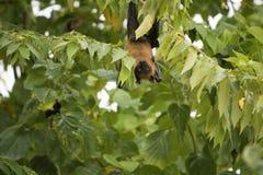Maldivian果实蝙蝠 图库摄影