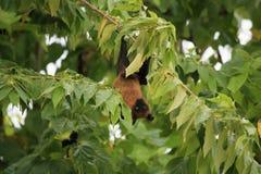 Maldivian果实蝙蝠 免版税库存图片