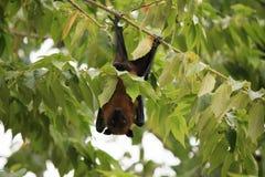 Maldivian果实蝙蝠 库存照片