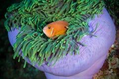 Maldivian clown kijkt uit van zeeanemoon Royalty-vrije Stock Afbeelding