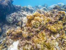 Maldivian denni korale fotografia stock