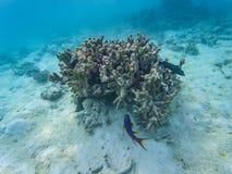Maldivian denni korale obraz stock