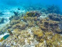 Maldivian eilandkoralen Stock Afbeelding