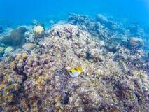 Maldivian ertsaderkoralen stock foto