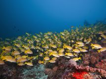 Maldivian fish flocks swimming in coral and turquoise waters Stock Image