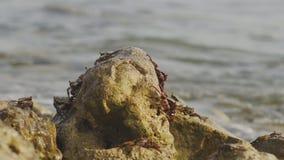 Maldivian Gemeenschappelijke Krabben stock video