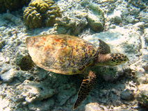 Maldivian Hawksbill Turtle Royalty Free Stock Photography