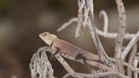 Maldivian lizard. Small lizard sitting on the branches of a plant in the Maldives royalty free stock images