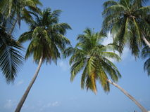 Maldivian palm tree Stock Images