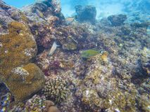 Maldivian reef fishes royalty free stock photography