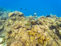 Maldivian reef fishes. Underwater photography of Maldivian fishes near Olhuveli island, Maldives Stock Photography