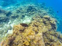 Maldivian reef fishes. Underwater photography of Maldivian fishes near Olhuveli island, Maldives Royalty Free Stock Photo