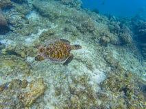 Maldivian zeeschildpad Stock Foto