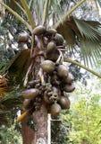 Maldivica de Lodoicea, jardín botánico real, Sri Lanka Imágenes de archivo libres de regalías