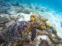 Maldivisk havssköldpadda arkivbild