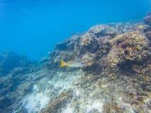 Maldiviska revkoraller arkivfoto