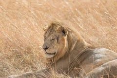 Male在马塞语玛拉的Lion Portrait国王 免版税库存图片