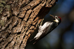 Acorn Woodpecker With a Beak Filled with Insects Royalty Free Stock Photos