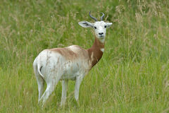 Male Addra Gazelle Royalty Free Stock Images