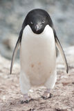 Male Adelie penguin  in the colony. Royalty Free Stock Photography