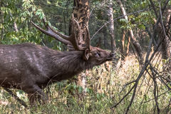 Male Adule Sambar Deer Rusa Unicolor. Male adult Sambar deer Rusa Unicolor in mating season searching female by smelling scene Royalty Free Stock Images