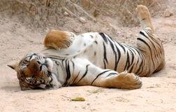 Male adult bengal tiger sleeping,thailand,asia cat. Male adult bengal tiger sleeping on ground, thailand, asia cat lion leopard Royalty Free Stock Photos