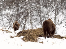 Male adult bison, two individuals. Altai Breeding bison place. royalty free stock image
