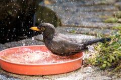 Male adult common blackbird, Turdus merula, having a bath in wat. Wet male adult common blackbird, Turdus merula, enjoying a bath in water bowl in garden Stock Photography