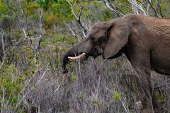 Male adult elephant in private game reserve safari in south africa stock photography